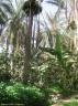 bananiers oasis de Tozeur