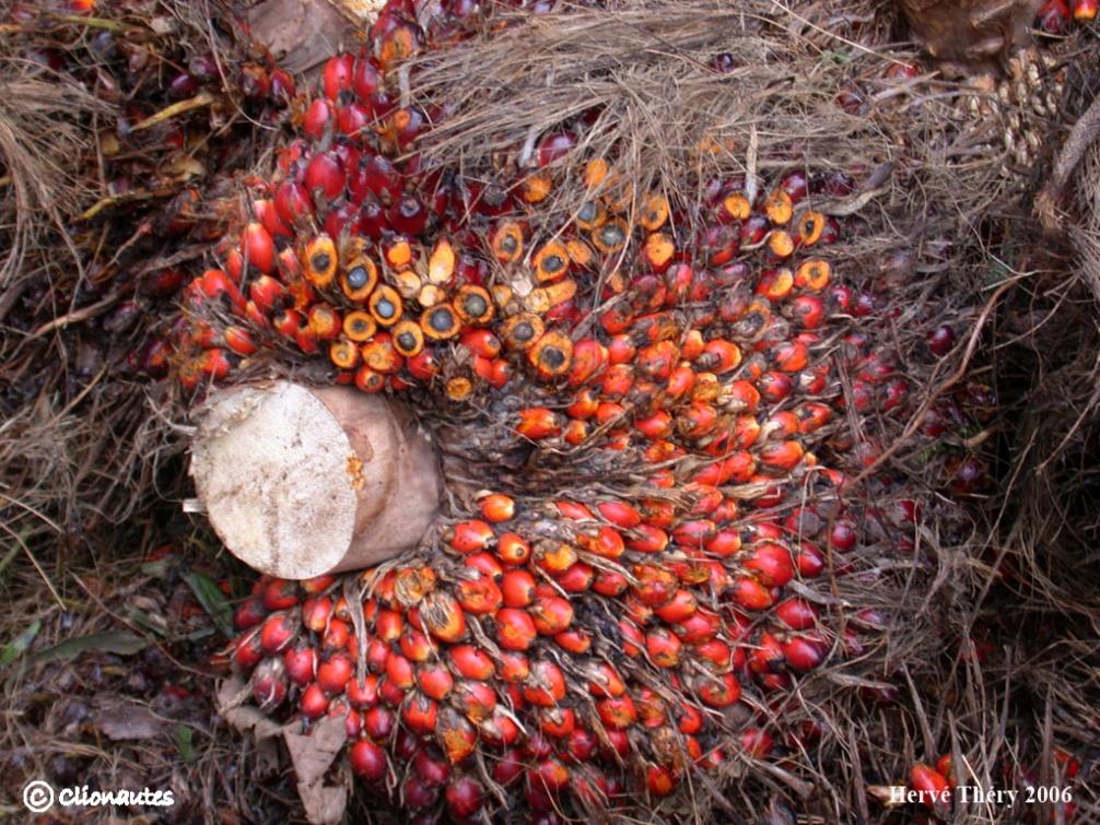 Palmier huile clio photo - Fruit qui pousse sur un palmier ...