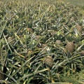 Plantation d'ananas, Martinique||<img src=_data/i/galleries/GEOGRAPHIE/FRANCE/Dom-Tom/Martinique/ananas-th.jpg>