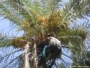 palmier Oasis de Tozeur