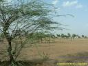 accacias au Rajasthan