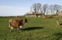 Vache de Jersey