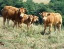 Famille de vaches dans les Pyrénées