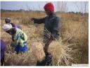 Casamance rizières la récolte