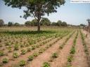 maraichage irrigué en Casamance