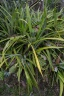 plantation ananas