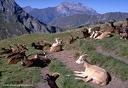Chèvres d'alpage